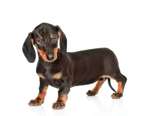 Dachshunds are among the most obese dog breeds.
