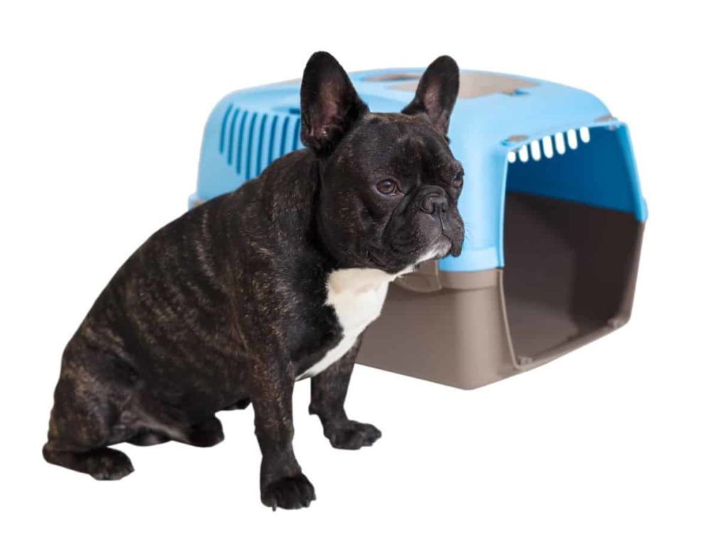 French bulldog with crate. Take advantage of your older dog's calm demeanor to crate train an older dog. He now trusts you, so it should be easier for you to introduce a new routine.