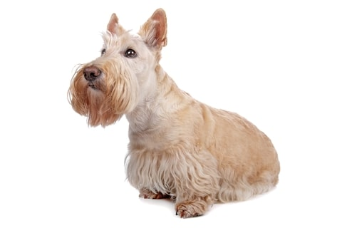 The Scottish Terrier is among the most common obese dog breeds