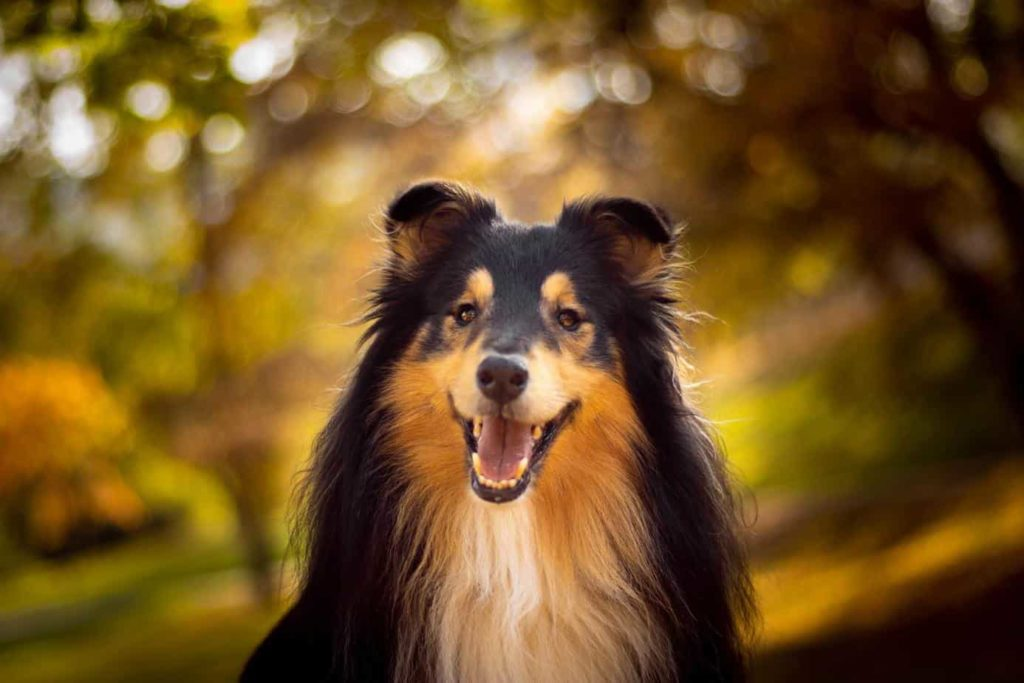 black collie