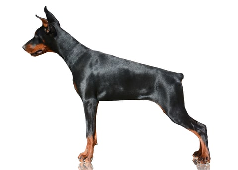 "Doberman pinschers are natural guard dogs that will stand up and defend his ""pack"" if threatened with attack and are one of the most popular protective dog breeds."