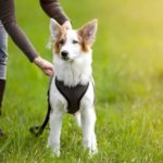 Harness training will give you better control of your dog and reduces the risk of neck injuries.