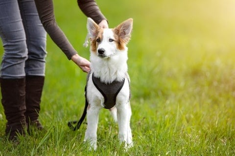 Woman adjusts dog harness. Harness training will give you better control of your dog and reduces the risk of neck injuries. But training your dog requires patience.