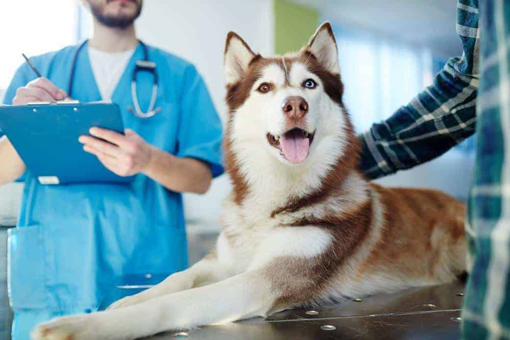 Husky visits vet. Canine probiotics can help ease digestive issues.