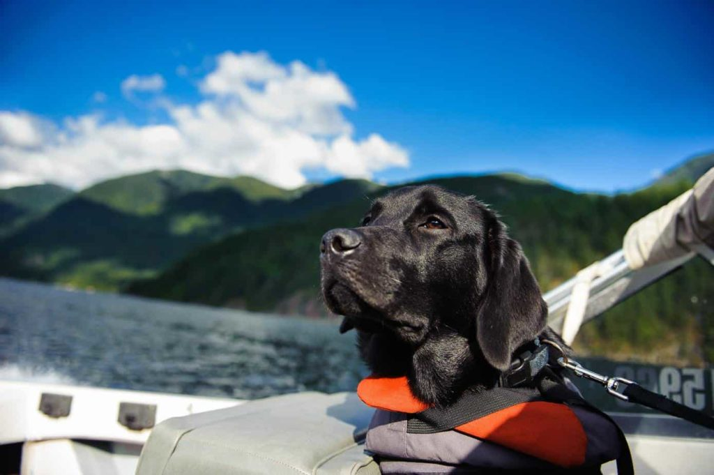 Black Labrador Retriever hangs out on a boat deck wearing a life jacket. Use dog boat safety tips to keep your pup safe and secure. Use life jackets, follow all dog laws, and provide a safe space for your dog to relax onboard.