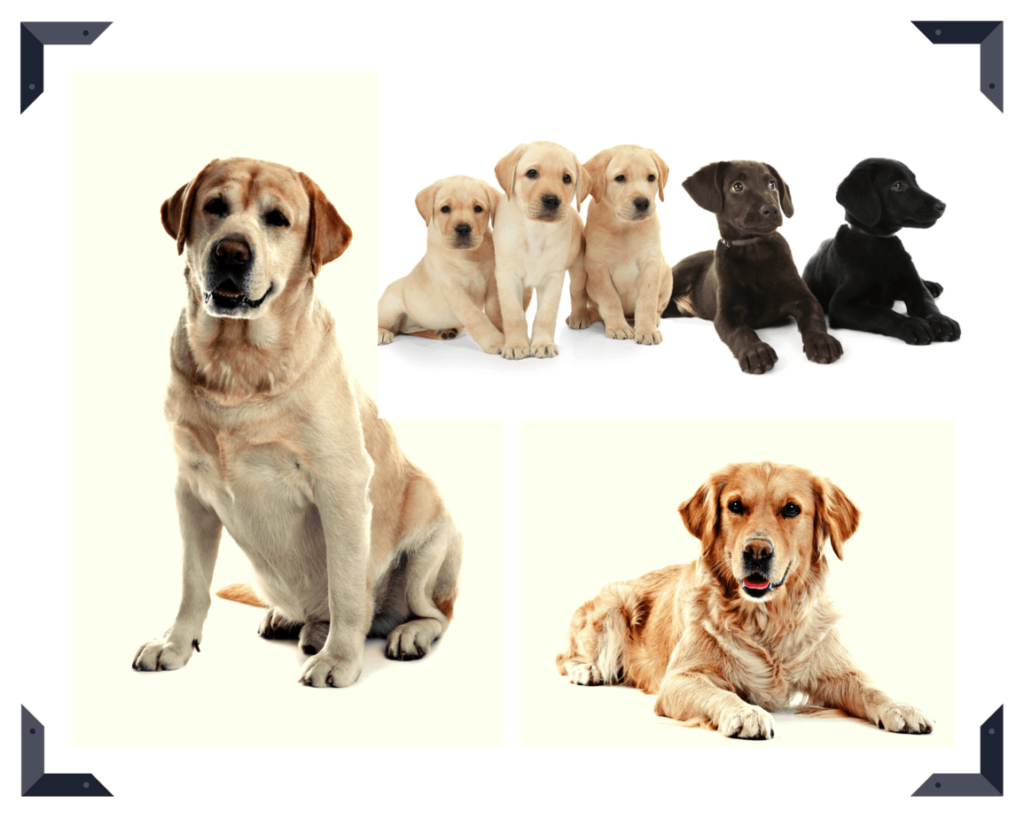 Labrador Retriever vs. Golden Retriever