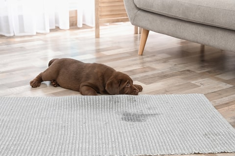 Sad chocolate Labrador retriever puppy lies near wet carpet. Be sure your pet stain remover also removes odors.