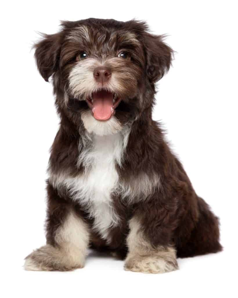 Chocolate Havanese Puppy Giving your dog his best life isn't always doing things that your dog will approve of. Sometimes it means doing what's best like making a lazy dog exercise.