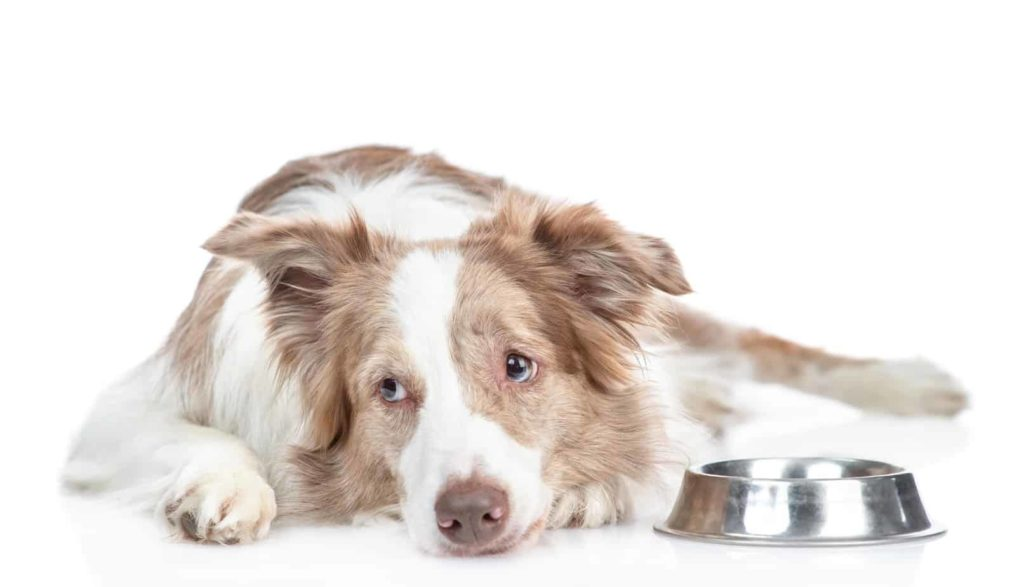 Sad border collie with food allergies lies near food bowl.