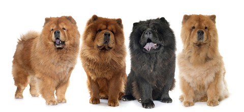 The Chow Chow is characterized by its thick coats that come in several colors, such as cinnamon, black, cream, or blue; however, the red Chow Chow is the most common.