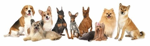Collection of dog breeds including beagle, corgi, Pomeranian, and Shiba Inu. Ever wonder why dogs do some of the things they do? Fascinating dog facts include speed, brains, nose power, bite strength, and more.