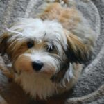 Havanese dogs are friendly, playful, and sweet. They are usually easily trained, as they are alert to commands and very intelligent.