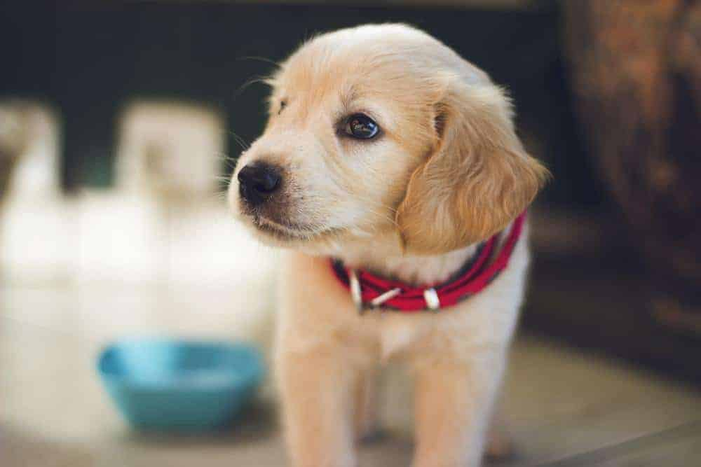 Golden retriever puppy with blue food bowl. Help your dog meet new people by keeping him calm.