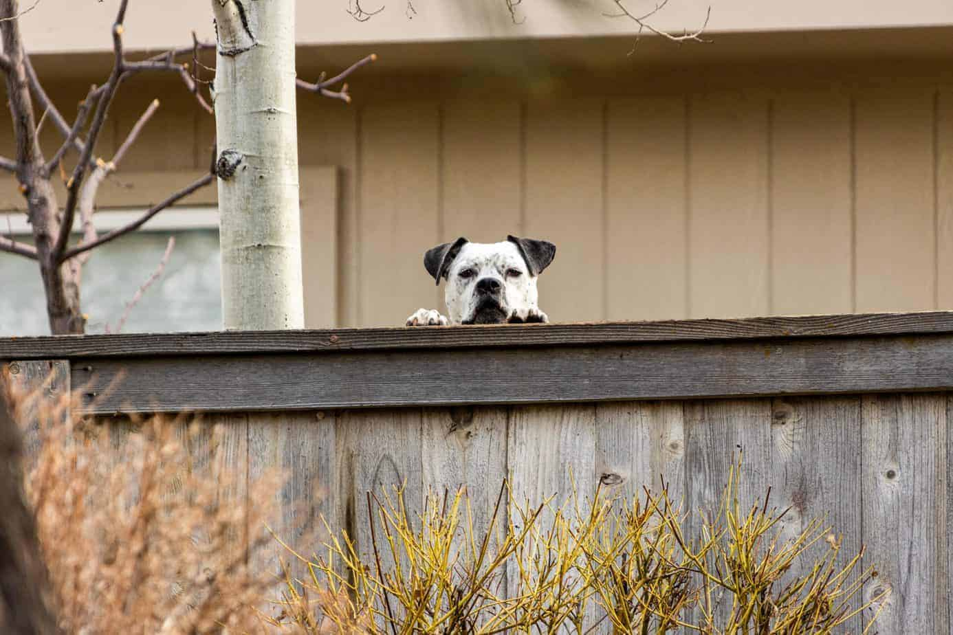 Bulldog peeks over fence. Make your dog neighbor-friendly. Listen to their concerns, especially if your dog barks at them nonstop, dig holes, or escapes into their yard.