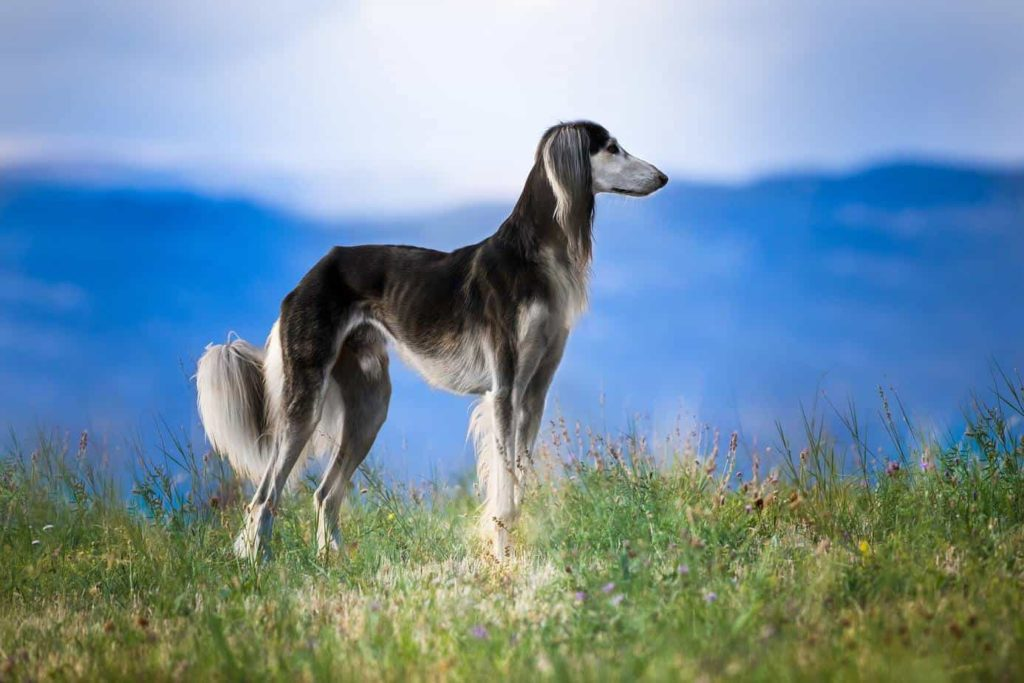 The Saluki dates back to the roots of Egyptian culture around 2100 BC and is widely found in depictions from many cultures around the world.