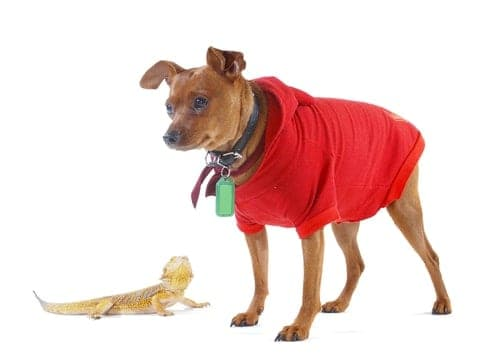 Bearded dragon with dog. To add unique pets to your house, focus on training your dog, take time to introduce them, and use separate rooms to keep both pets safe.