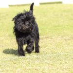 Affenpinscher black coat