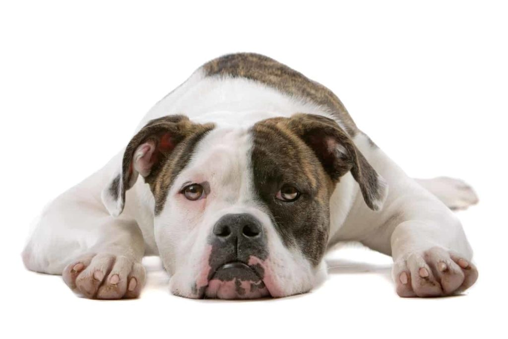 "American bulldog on white background. Both the American and English Bulldog have massive heads with a wrinkled face featuring a pushed-in nose and undershot jaw. The dogs have a small pelvis and a distinctive ""screw"" tail. The major difference is American bulldogs have longer legs and are considered more athletic than their English cousins."