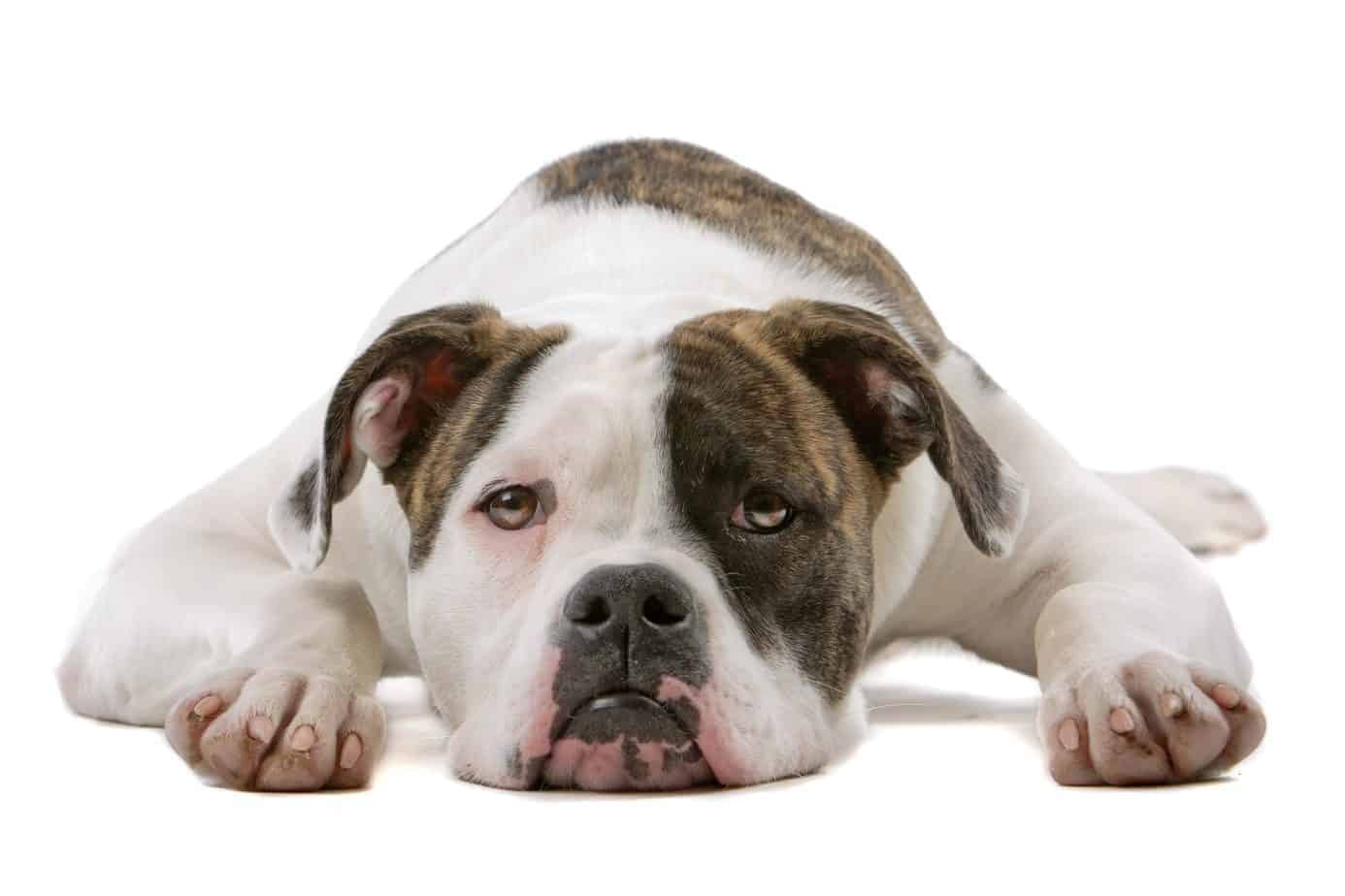 """American bulldog on white background. Both the American and English Bulldog have massive heads with a wrinkled face featuring a pushed-in nose and undershot jaw. The dogs have a small pelvis and a distinctive """"screw"""" tail. The major difference is American bulldogs have longer legs and are considered more athletic than their English cousins."""