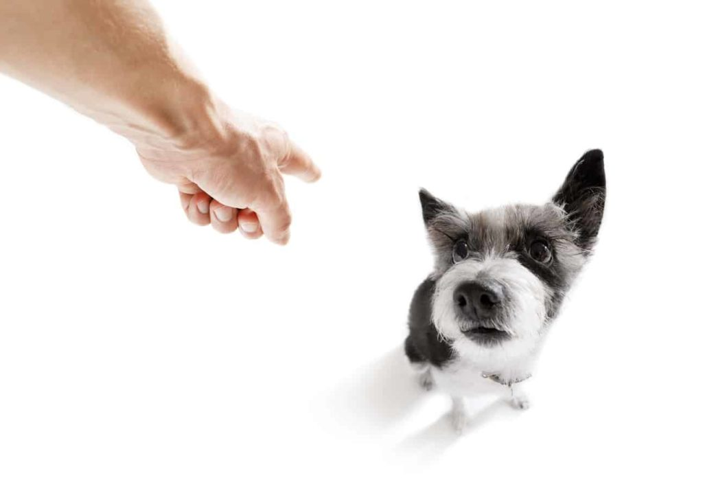 Man yells at small terrier dog. Researchers have identified animal abuse as one of the four predictors for domestic violence.