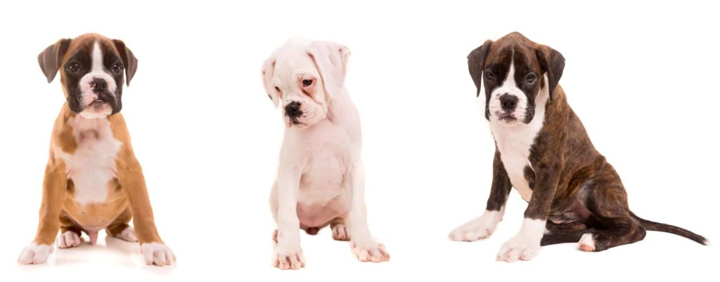 Boxer puppies in three colors: tan, white, and chocolate.