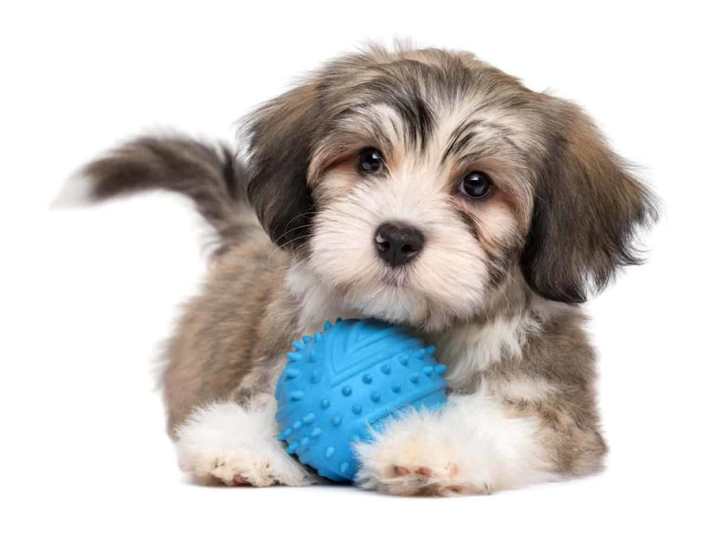 Cute Havanese puppy with blue ball. Dog owners use DNA test to determine their dog's breed and find health issues.