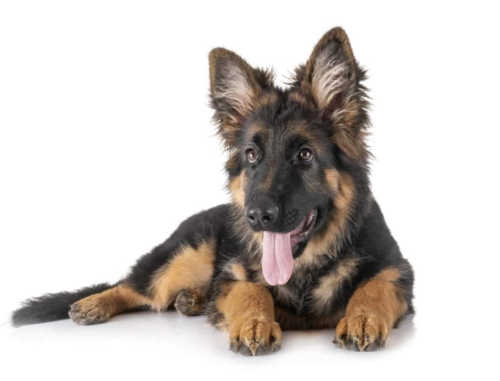 German shepherd puppy with tongue hanging out.
