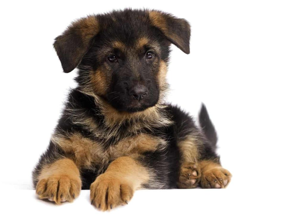 German shepherd puppy with floppy ears. German shepherd puppy checklist: Get the items you need to keep your puppy safe and healthy including chew toys, crate, bed, collar, and leash.