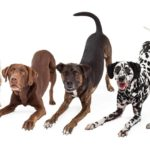Bowing dogs show body language of happy, playful dogs. Pictured Australian Shepherd, Chocolate Labrador Retriever, and Dalmatian.