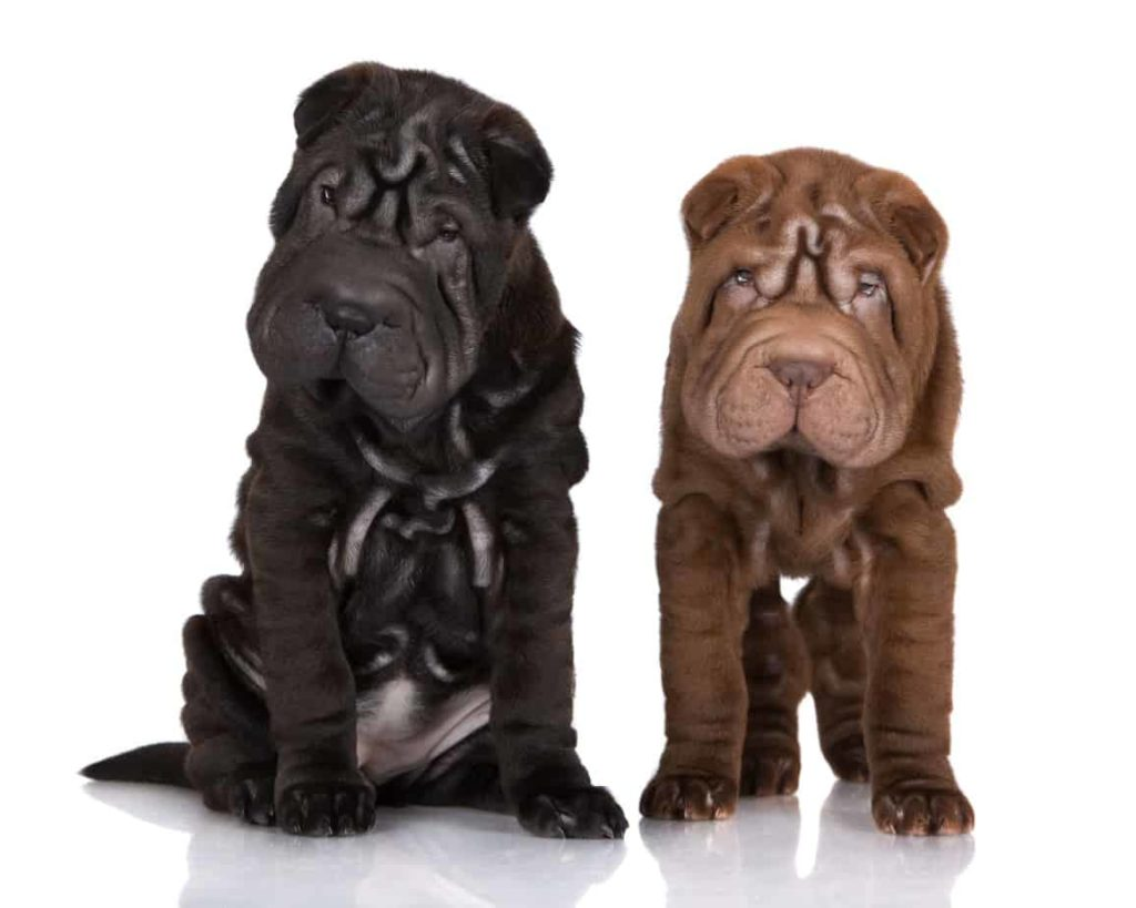 Shar-Pei dogs black and chocolate. The breed's coat comes in several characteristic shades, such as red, black, chocolate, blue, or gray.