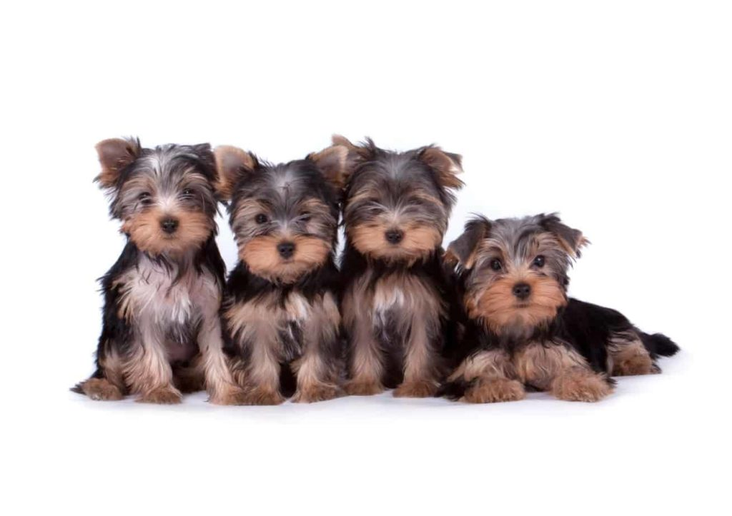 Collection of Yorkshire terrier or Yorkie puppies. Despite their small size, the Yorkshire terrier has a big dog attitude.