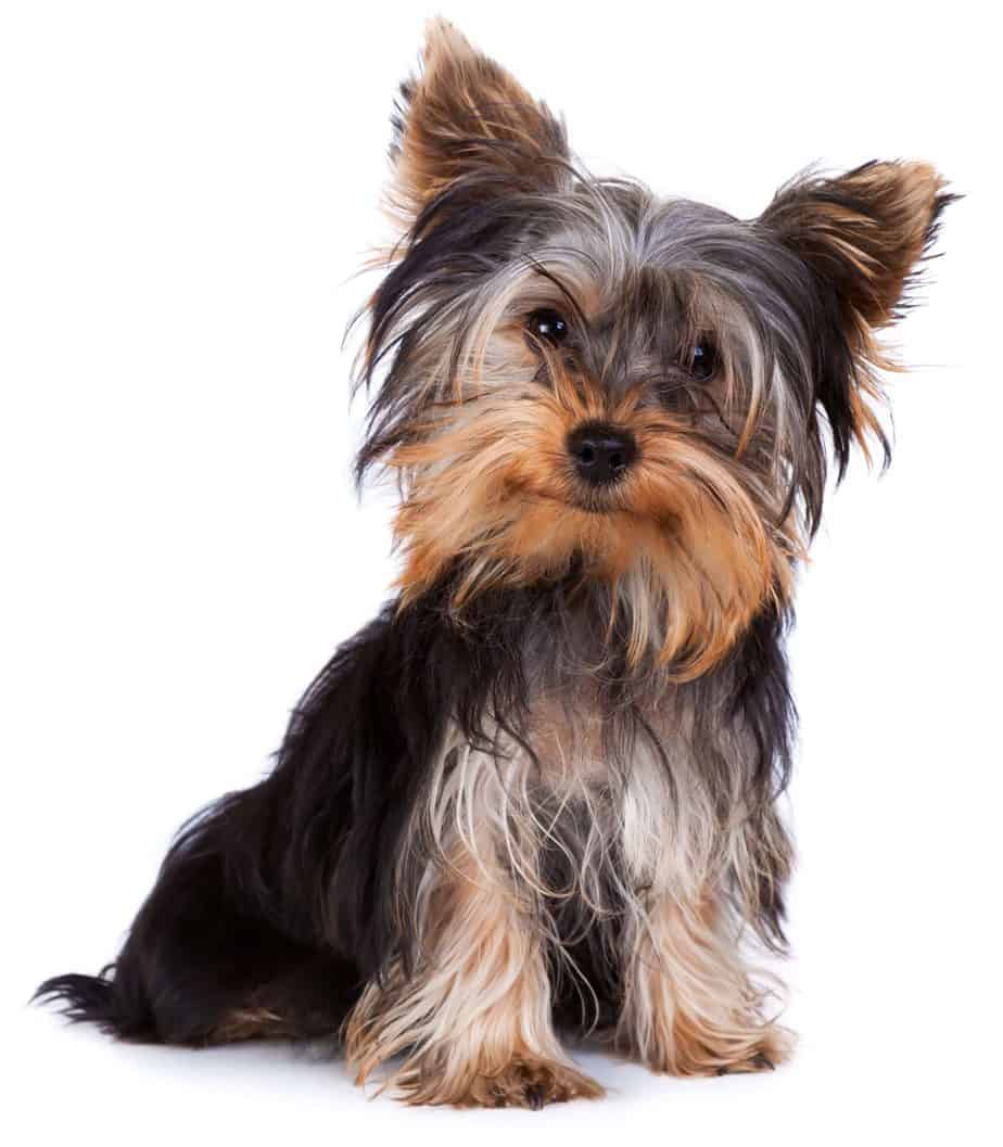 Yorkshire terrier on white background. Although no dog is 100% hypoallergenic, non-shedding dogs produce less dander, which is the true culprit in causing pet allergies for humans.