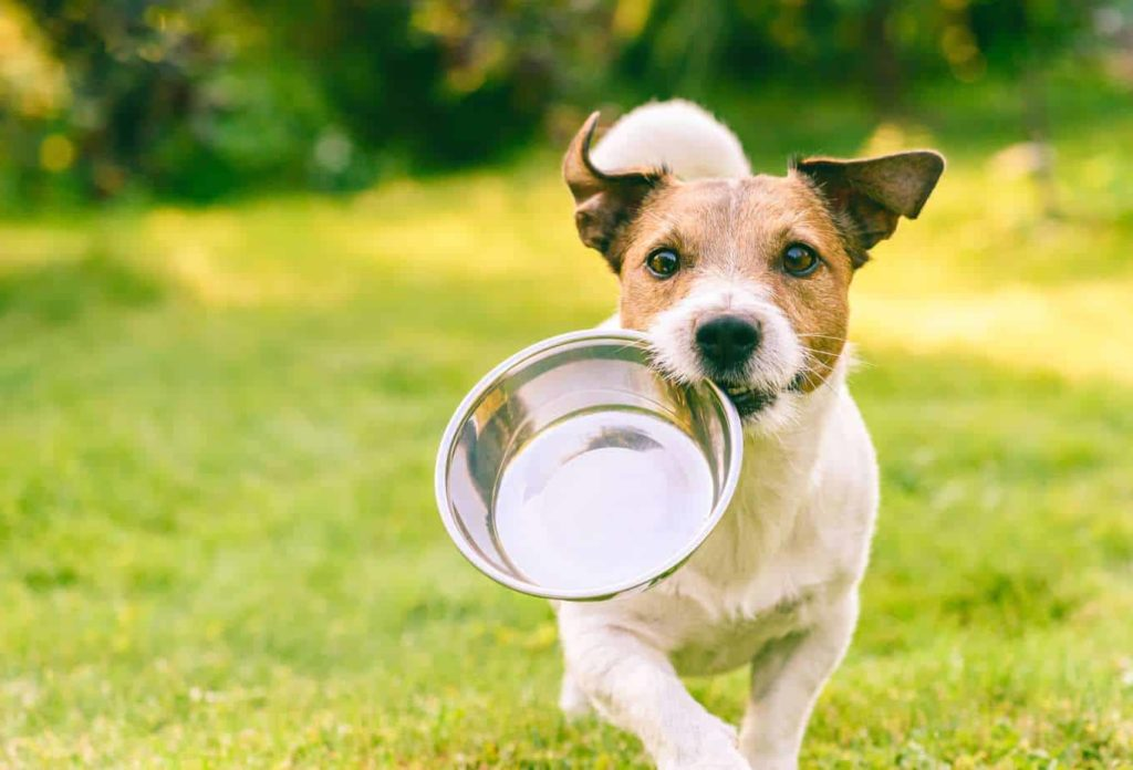 Jack Russell terrier runs with empty food bowl. Research being conducted into the health implications of a dry dog food diet indicates more and more reasons to avoid it.