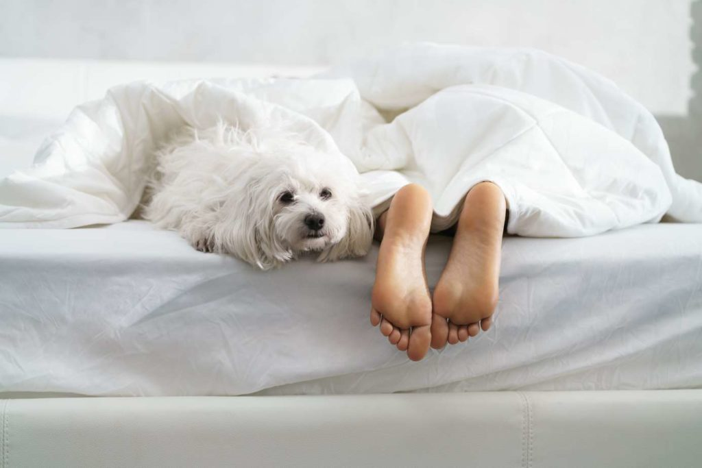 Maltese dog snuggles next to a little girl's feet. Place a sheet or towel on the area where your dog likes to sleep. Shake it outside every morning and wash it periodically to get rid of the fur. This will help keep your mattress clean by preventing the fur from getting into your sheets and mattress.
