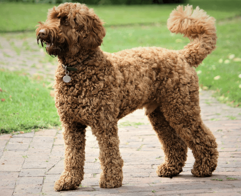 TheLabradoodle comes in SEVERAL coat colors including brown.