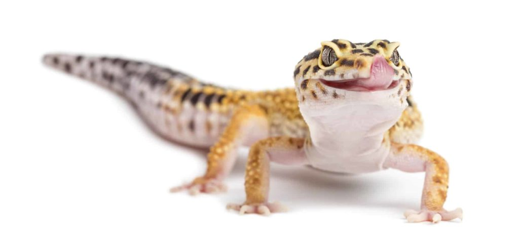 Leopard gecko on white background. Lizards and dogs can get along. Bearded dragons, leopard geckos, and blue-tongued skinks can become great friends for your canine companion.