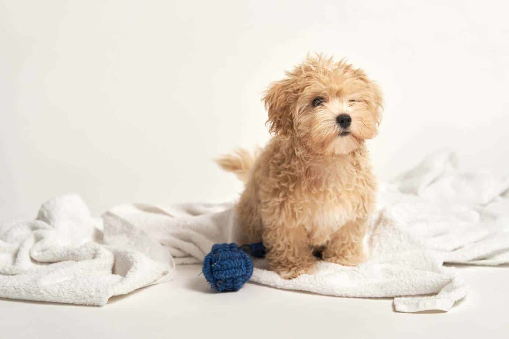 Buff-colored Maltipoo puppy sits on a blanket on a white background. The Maltipoo, a Poodle and Maltese crossbreed, requires physical activity and mental stimulation.