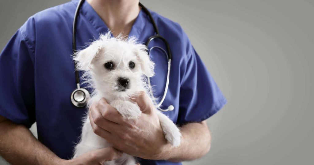Male vet holds Maltese puppy. When determining the right time to neuter your dog, consider your dog's breed, size, and sex, and consult with your veterinarian.