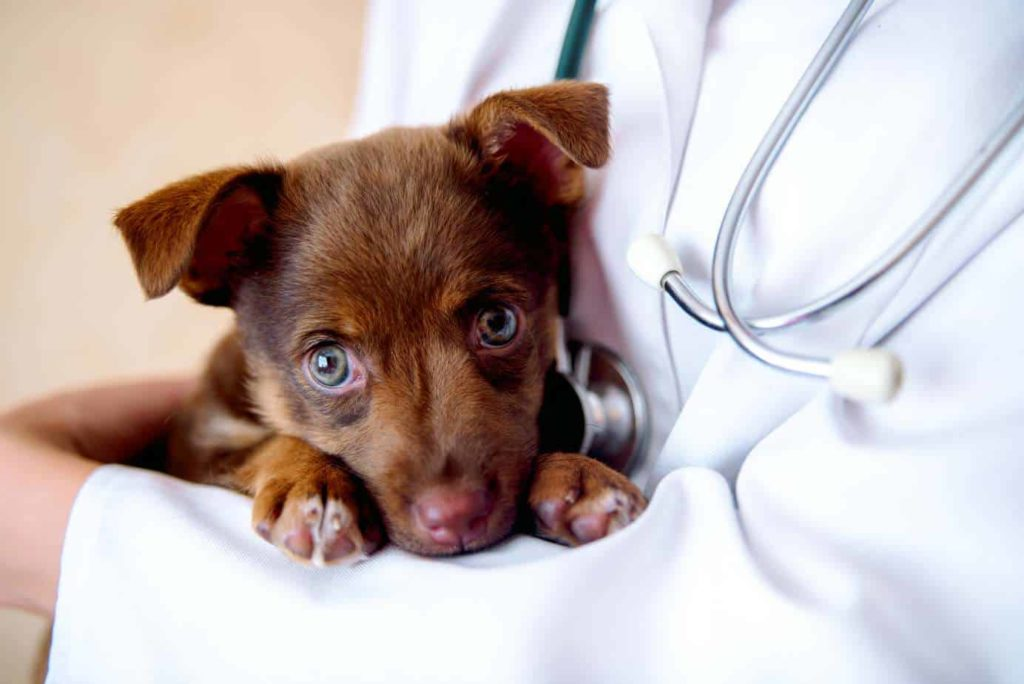 Veterinarian holds sick puppy. Unusual dog behaviors like head pressing, pacing, excessive thirst, change in eating habits, or sudden aggression are signs to take your dog to the vet.