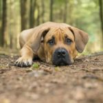 The Elite Boerboel dog breed, also known as South African Mastiff, is a loyal dog known for protecting their homes and families.