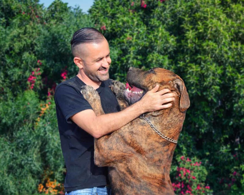 Man plays with Elite Boerboel.
