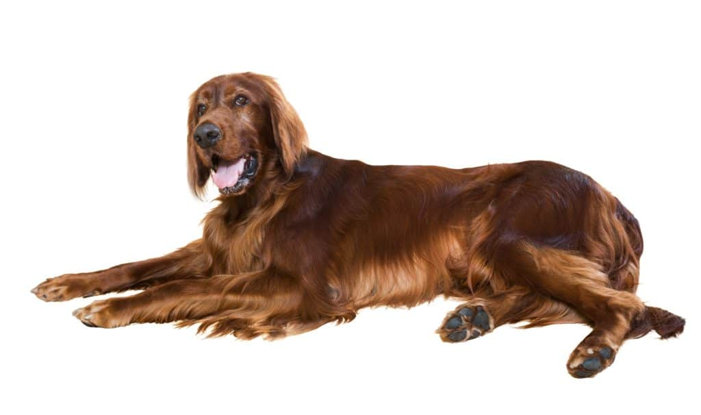 Irish Setter pictured on a white background.