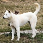 The Jindo is a loyal breed that can be strong-willed and stubborn. The dogs love to protect their territory and loved ones at all costs.