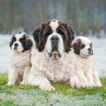 Saint Bernard poses with two puppies. The Saint Bernard is an intelligent, gentle giant. The breed's patience and protectiveness make them great with children.