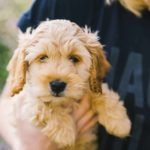 Adopting a Cockapoo is a life-long commitment, and a rescue society will ensure that a prospective new owner can offer a permanent, caring, suitable home.
