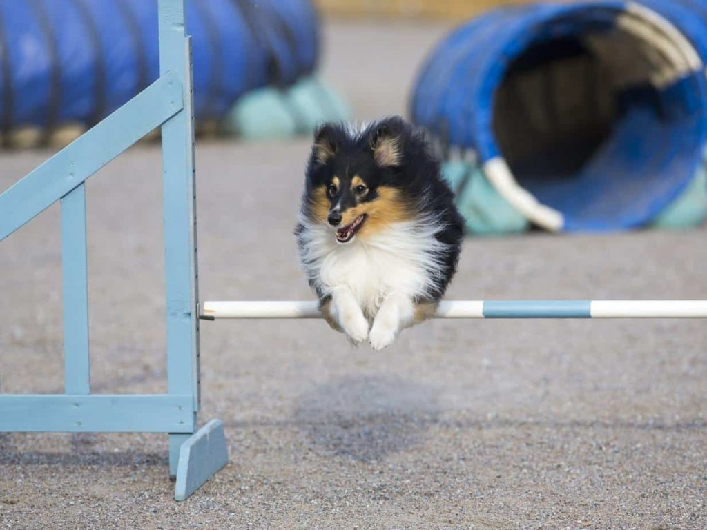 Shetland sheepdog or sheltie runs an agility course. Agility training helps dogs build confidence and learn to pay attention to their handlers. The training includes activities such as jumps and tunnels.
