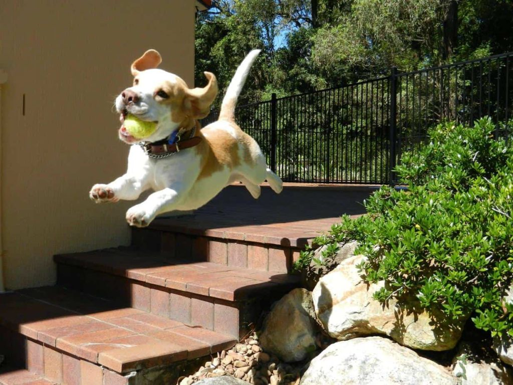 Beagle puppy runs and jumps off stairs. Puppies have lots of energy they need to burn. But they also tire quickly. That means they require frequent exercise intervals throughout the day.