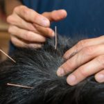 Veterinarian inserts needles in dog's back during canine acupuncture treatment.