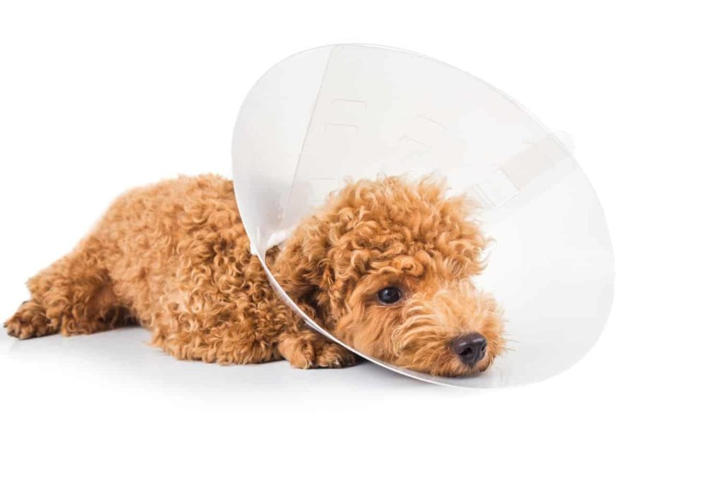 Poodle puppy wears an e-collar. Follow these helpful tips to care for your dog after neutering or spaying to ensure a speedy recovery. Keep your dog calm and use an e-collar if needed.