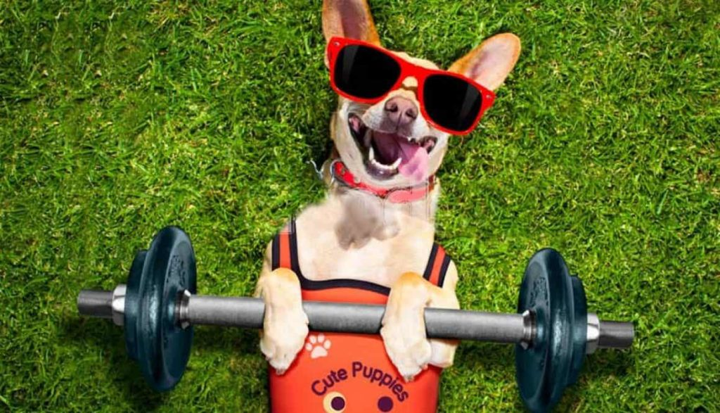 Chihuahua with barbell. To determine how much exercise dogs need consider your dog's age, health and breed. Then, create a plan to keep your dog healthy.